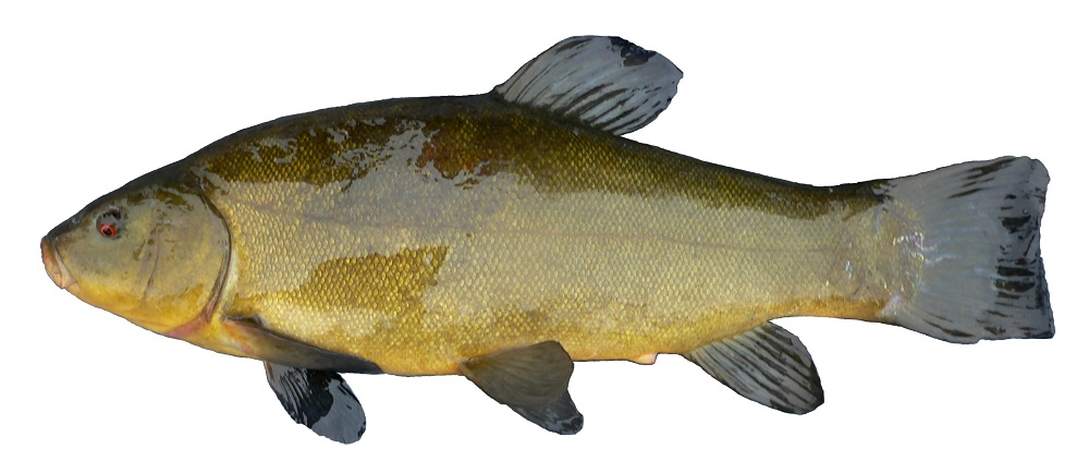 FemaleTench1